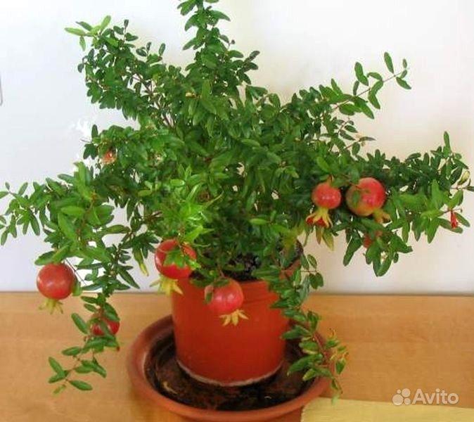 Цитрусовые комнатные растения