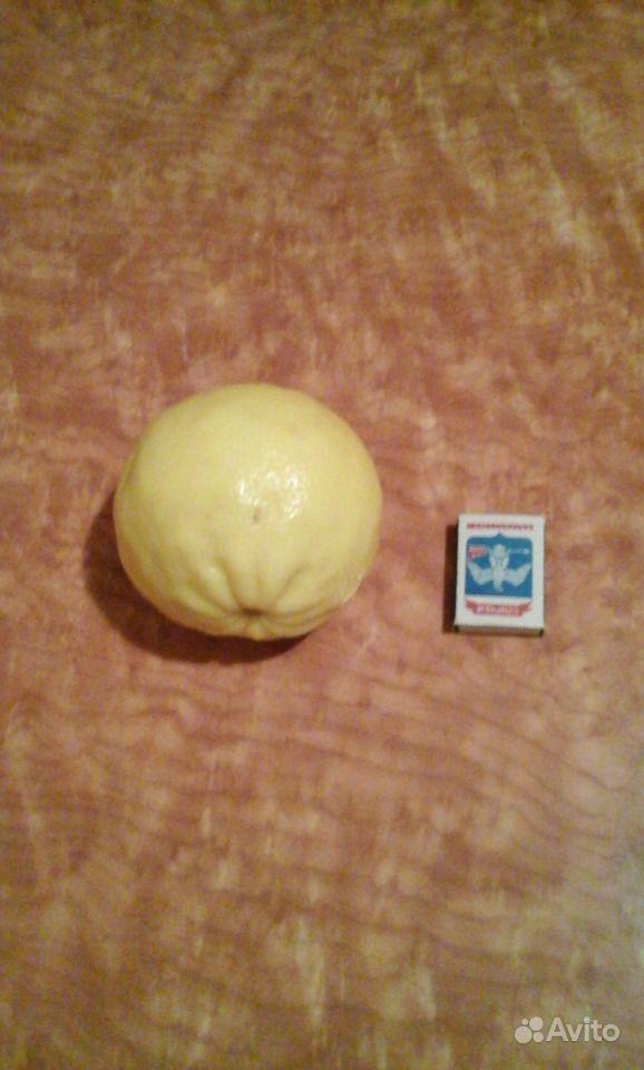 Комнатные лимоны Пандероза купить на Зозу.ру - фотография № 4