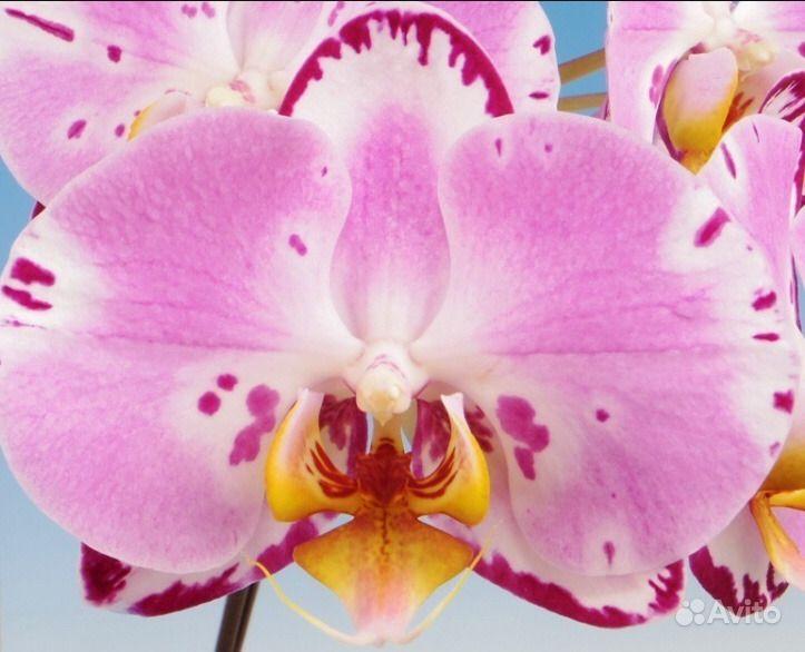 Орхидея фаленопсис Happy Song