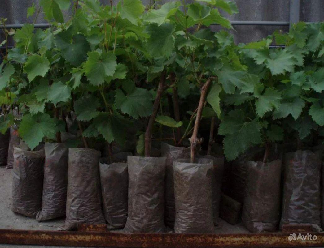 Саженцы винограда малины клубники ежевики смородин купить на Зозу.ру - фотография № 3