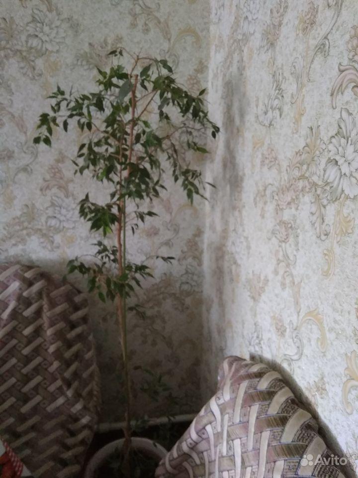 Фикус Бенджамина, пальмы, замиакулькас купить на Зозу.ру - фотография № 1