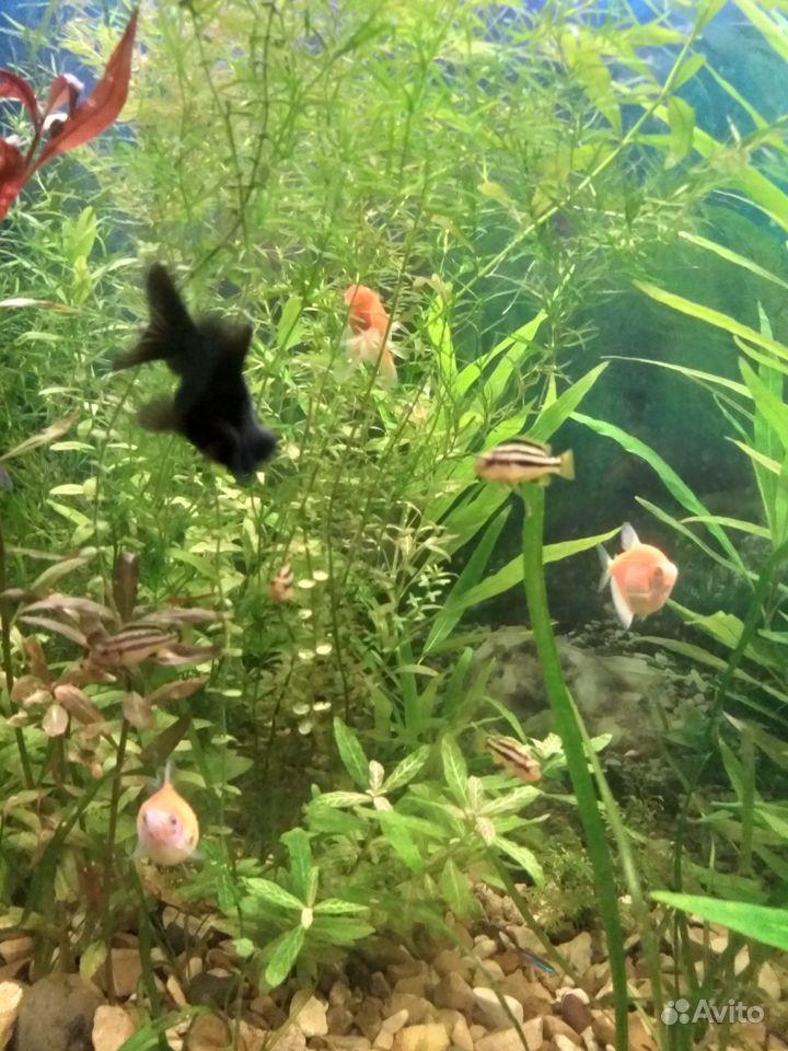 Малавийские цихлиды купить на Зозу.ру - фотография № 2
