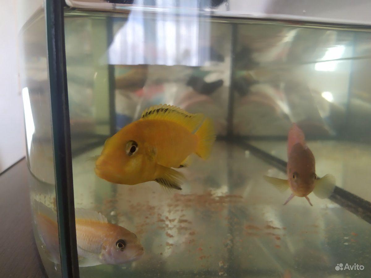 Рыбы цихлиды купить на Зозу.ру - фотография № 1