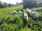 Козы, козляты, молочные породы
