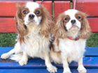 Спаниель Пики и Мила ищут новые семьи