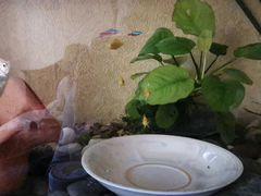 Рыбка еллоу