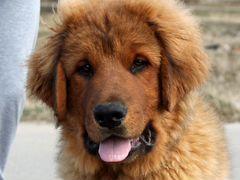 Щенки Бурят-монгольской собаки/волкодава (хотошо)