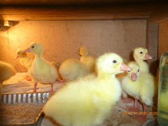 Цыплята Гусята