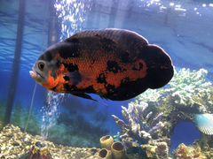Рыбы Астронотус и Акара бирюзовый