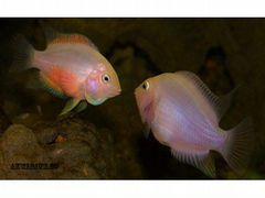 Мальки цихлазомы-фламинго