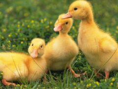 Утята,гусята, куры, цыплята