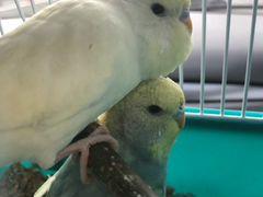 2 волнистых попугайчика с большой клеткой, клеткой