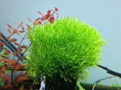 Трава Риччия для аквариума