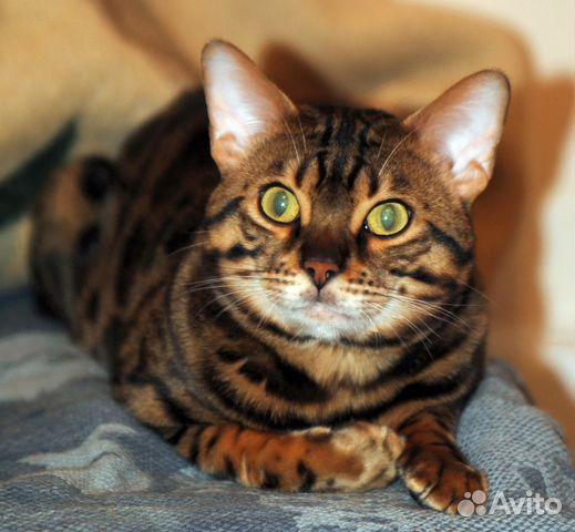термобелья синтетика авито челябинск бенгальские котята для