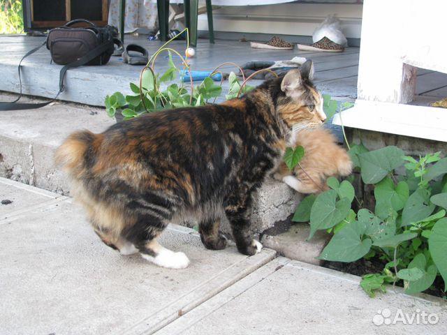 Кошка Курильского Бобтейла ищет жениха 89178050979 купить 3