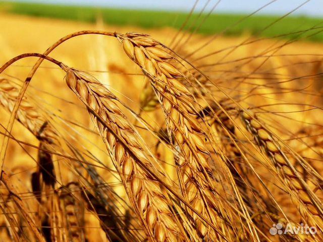 Объявление продам пшеницу работа на экскаваторе погрузчике в ярославле на авито свежие вакансии