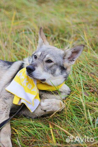 Собака в дар метис овчарки купить на Зозу.ру - фотография № 2