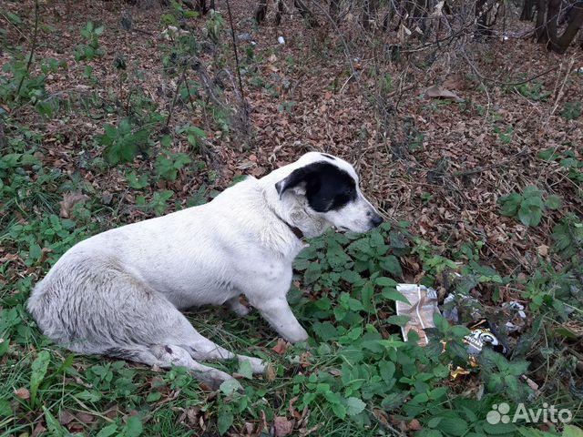 Пристраивается щенок купить на Зозу.ру - фотография № 8