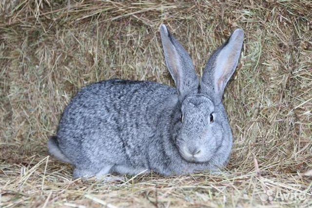 Кролики 89618824171 купить 1