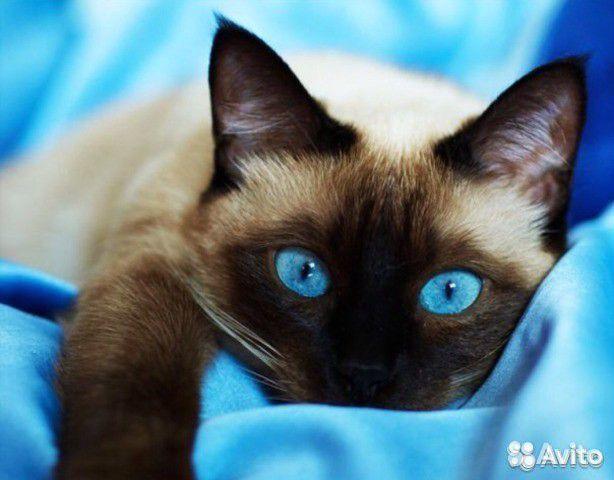 Сиамские коты и кошки купить 1