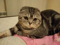 Вязка с вислоухим котом