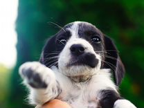 Продаю щенков русского спаниеля
