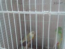 Певчие попугаи