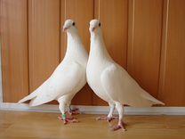 Белые голуби на свадьбу, венчание, любое торжество