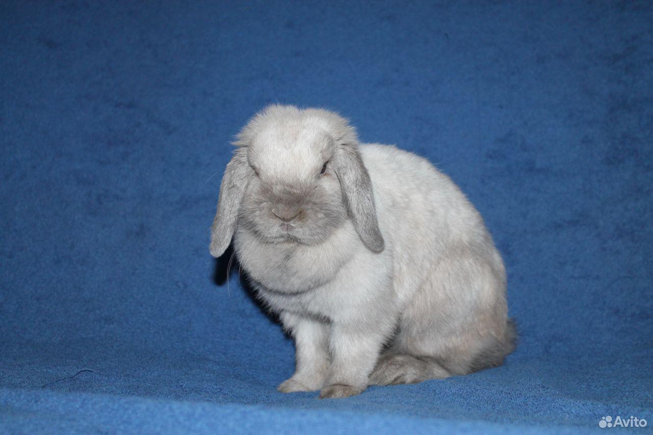 NHD мини вислоухие крольчата  89674908662 купить 2