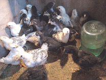 Цыплята деревенские