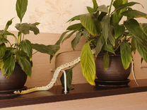 Продам Королевскую Калифорнийскую змею