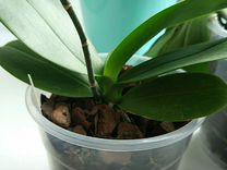Орхидея фаленопсис Zuma's Pixie x P. Taida Pearl