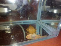 Сомы анцитрусы альбиносы