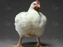 Инкубационное яйцо:несушки,бройлеры,индюки,утки