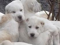 Щенки туркменских волкодавов (алабай)