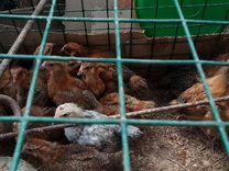 Продам цыплят и утят