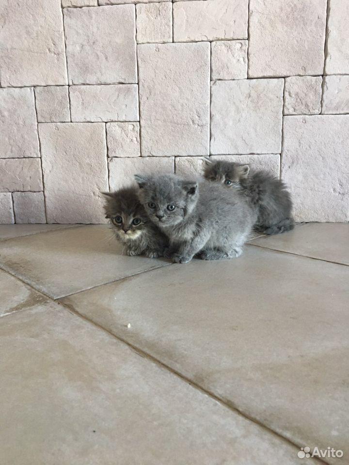 Британские котята в добрые руки бесплатно  89034187889 купить 1